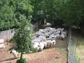 Moutons pour l'entretien de la réserve